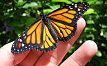 OGM-la-farfalla-monarca-è-sull'orlo-dell'estinzione